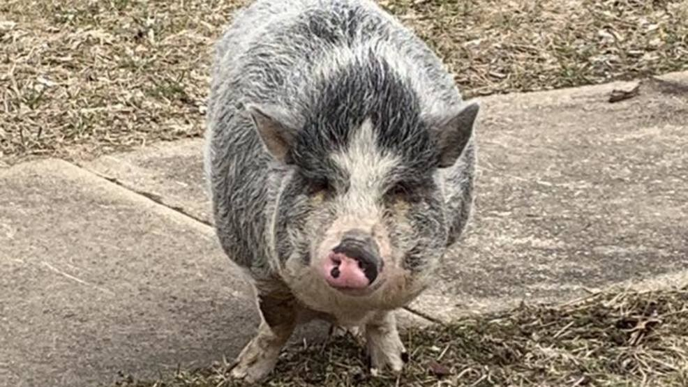 Police In Ohio Use Oreos To Lure Lost Pot Bellied Pig Home